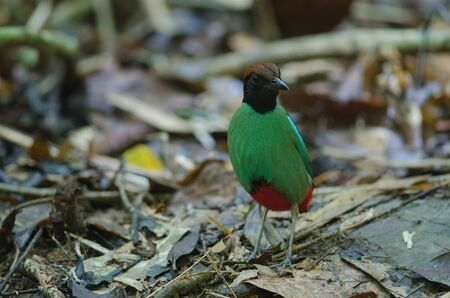 Hooded Pitta (Pitta sordida) standing on a branch in nature