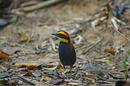 Beautiful of Malayan Banded Pitta ( Hydrornis irena) in nature, Thailand