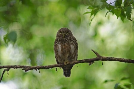 Asian Barred Owlet (Glaucidium cuculoides) on tree in nature