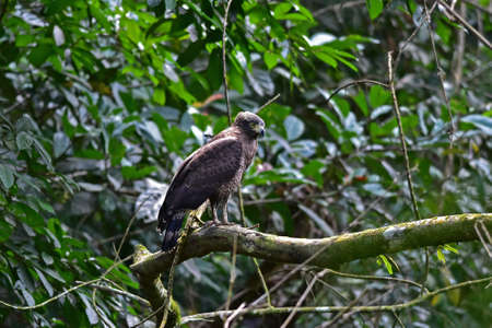 Crested Serpent Eagle resting on a perch in forest, Thailand