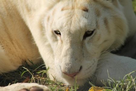 white tiger Stock Photo - 17189298