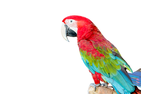 gold facial: Beautiful Macaw Bird isolated on white background
