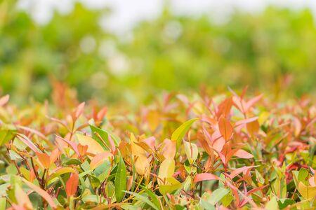 religiosa: Close Up Wrightia religiosa leaf ,nature background Stock Photo
