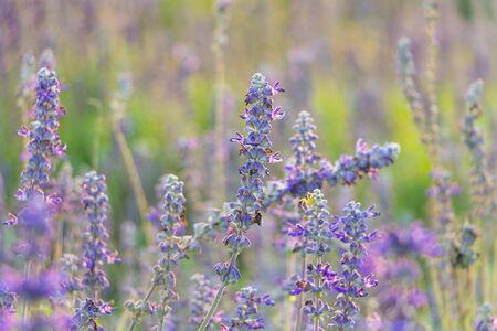 Close-up Lavender flower in The garden photo