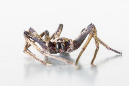 arachnoid: Close up of brown spider , Heteropoda venatoria Stock Photo