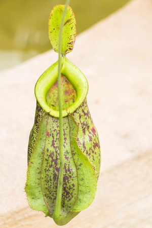 nepenthes: Close up of Nepenthes in The Garden