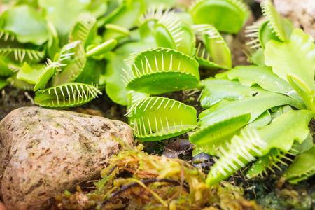 carnivorous: Close up Venus Flytrap (Carnivorous plant) Stock Photo