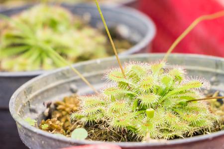 carnivorous: Close up Sundew (Carnivorous Plant)