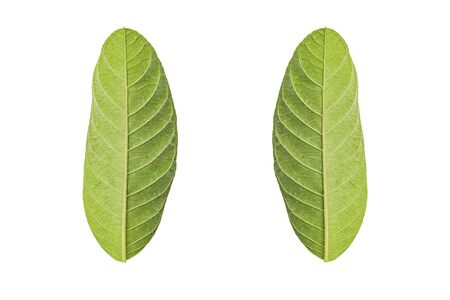 clipping: Green leaf isolated on white background with Clipping path