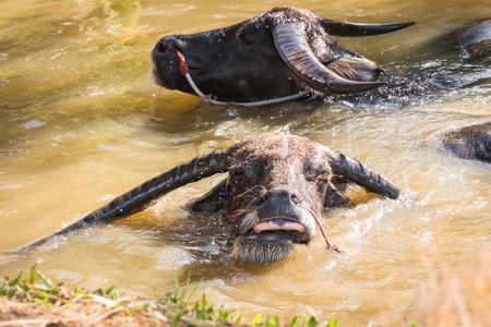 take a bath: Thai Buffalo take a bath in the canal