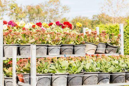 Rows of Flowering plant in black bags on nursery seeding