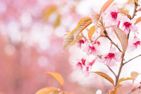 relaxation background: Sakura flowers blooming blossom in Chiang Mai, Thailand Stock Photo
