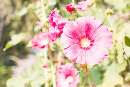 hock: Closeup Flowers Holly Hock (Hollyhock)