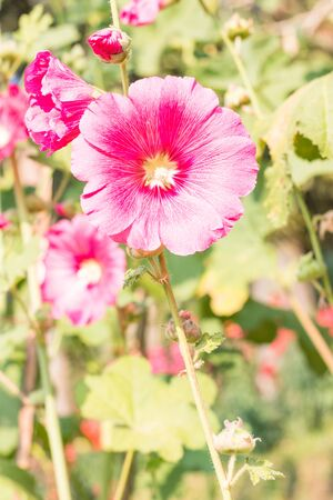 hollyhock: Closeup Flowers Holly Hock (Hollyhock)