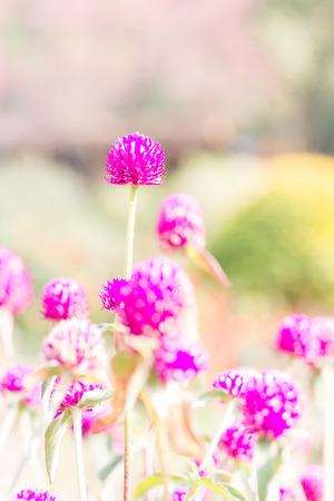 globosa: Globeamaranth blooming (Gomphrena globosa) on blur background