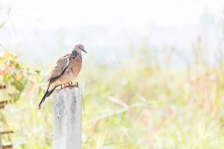 spotted: Spotted Dove standing on Concrete poles Stock Photo