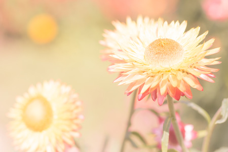 everlasting: Beautiful flower Strawflower ( Everlasting ) with soft  filter