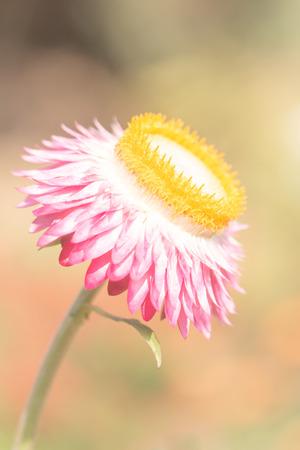 everlasting: Beautiful flower Strawflower ( Everlasting ) with soft  filter