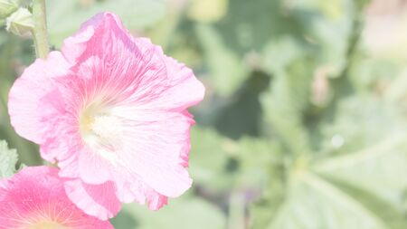 hock: Beautiful Flowers Holly Hock (Hollyhock) on green leaf background