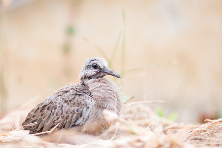 spotted: Baby spotted doves on the ground Stock Photo