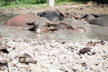 herbivore natural: Buffalo relaxes in a mud.