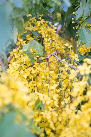 fistula: Beautiful flowers Golden shower , Cassia fistula flowers Stock Photo