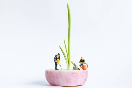 Miniature people : Gardeners Harvesting  Spring onion on white background , Agriculture concept Reklamní fotografie