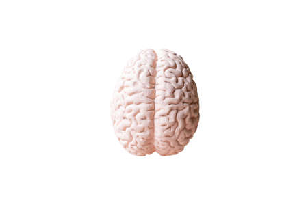 Human brain Anatomical Model isolated on white background Stock Photo