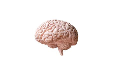 Human brain Anatomical Model isolated on white background Banco de Imagens
