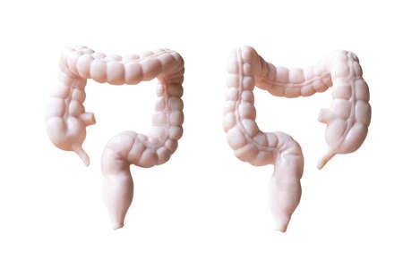 Human Large intestine  Anatomical Model isolated on white background