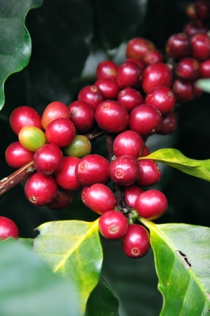 coffee harvest: Coffee beans  on tree Stock Photo