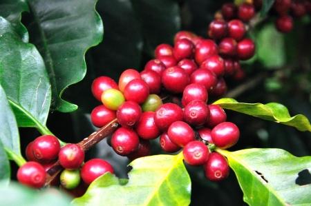frijoles rojos: Los granos de café en el árbol
