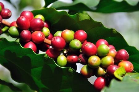 coffee tree: Coffee beans  on tree Stock Photo