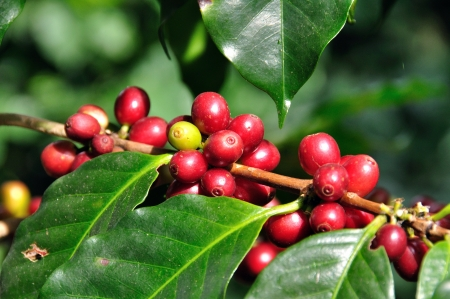 planta de cafe: Los granos de café en el árbol