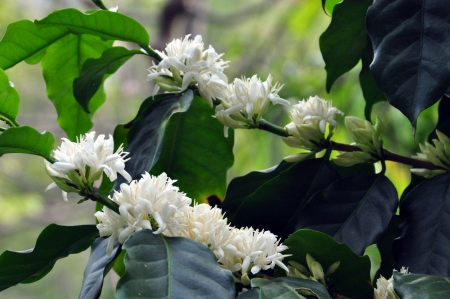 bush to grow up: Coffee flowers  Stock Photo