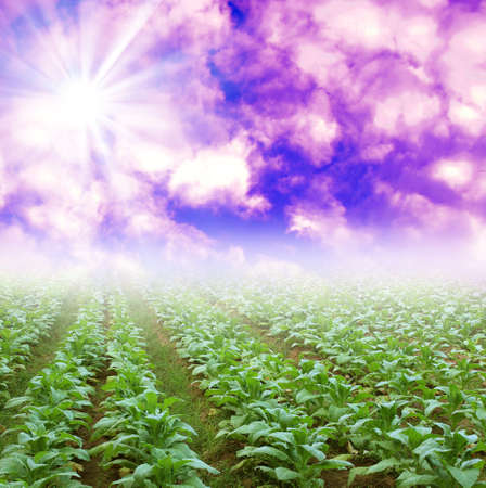 Vegetable beautiful sky   photo