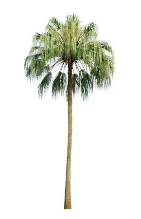 tropical evergreen forest: Coconut palm tree isolated on white background Stock Photo