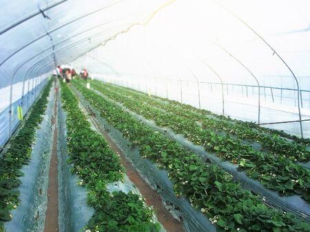 Strawberry, Close Up, Strawberry Plant, Strawberry in Farm, Landscape in Farm Plant. Standard-Bild