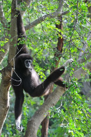 simian: Black Gibbon