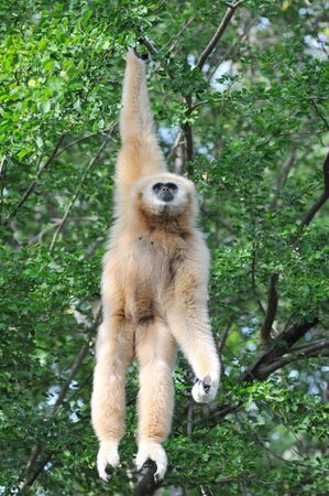 simian: White Gibbon