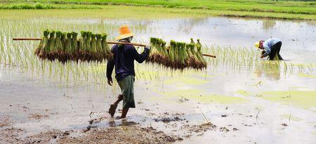 Rice Plantation photo