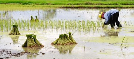 rice fields: Growing Rice