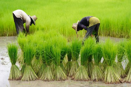 Rice Plantation Stock Photo