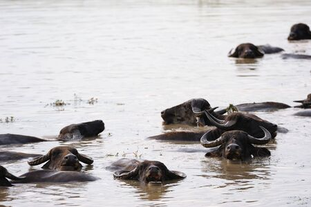 Buffalo Swimming photo