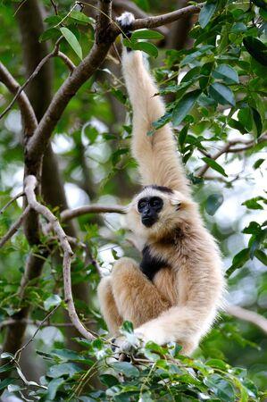 gibbon: White Gibbon