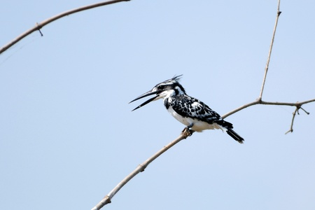 pied: Pied Kingfisher