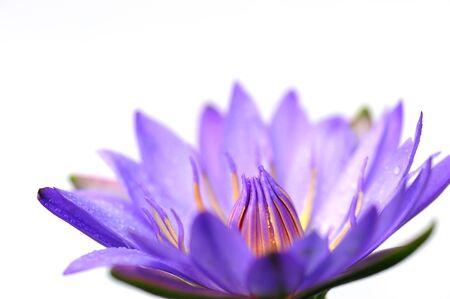 Purple Lotus Closeup photo