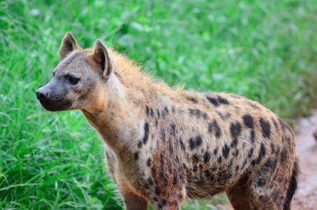 Spotted Hyena photo