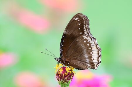 Great Egg Fly Butterfly photo