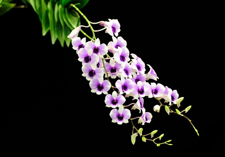 Beautiful Orchid on black Stock Photo